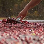 Cranberries being raked