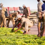 Grapes being prepared on drying beds South Africa