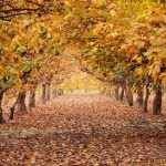 Walnut Orchard in Autumn, California